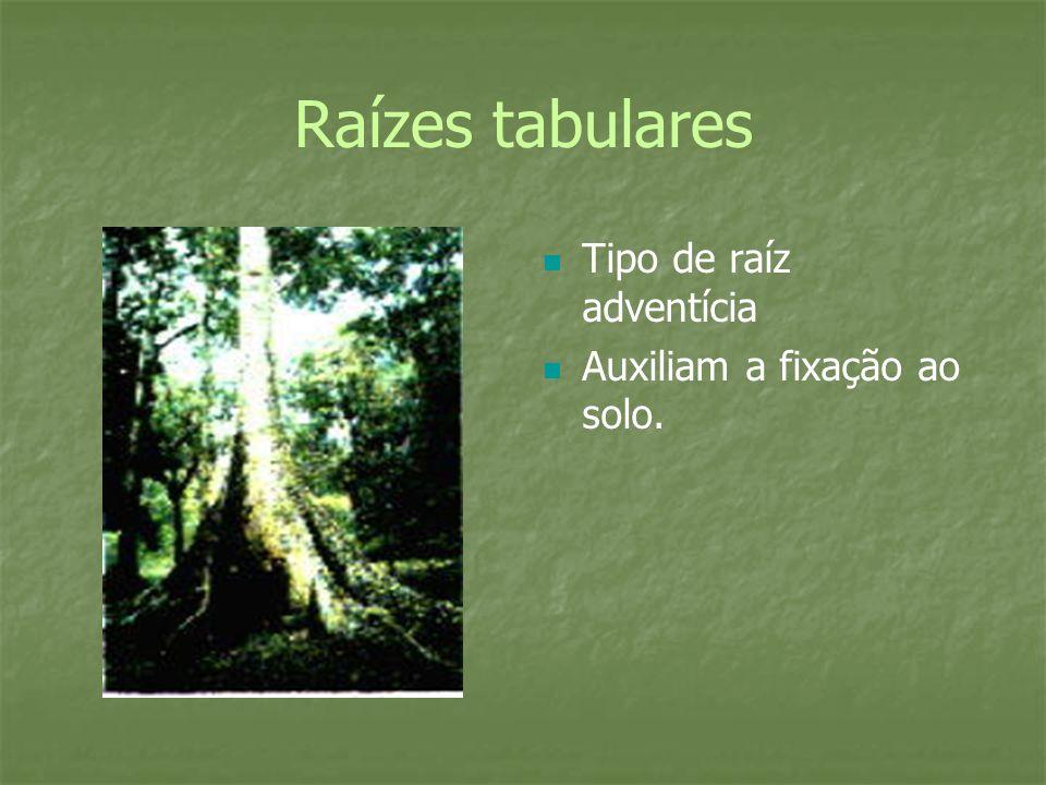 Raízes tabulares Tipo de raíz adventícia Auxiliam a fixação ao solo.