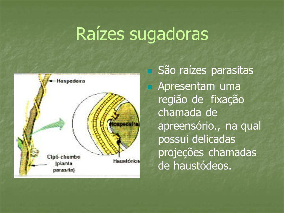 Raízes sugadoras São raízes parasitas Apresentam uma região de fixação chamada de apreensório., na qual possui delicadas projeções chamadas de haustódeos.