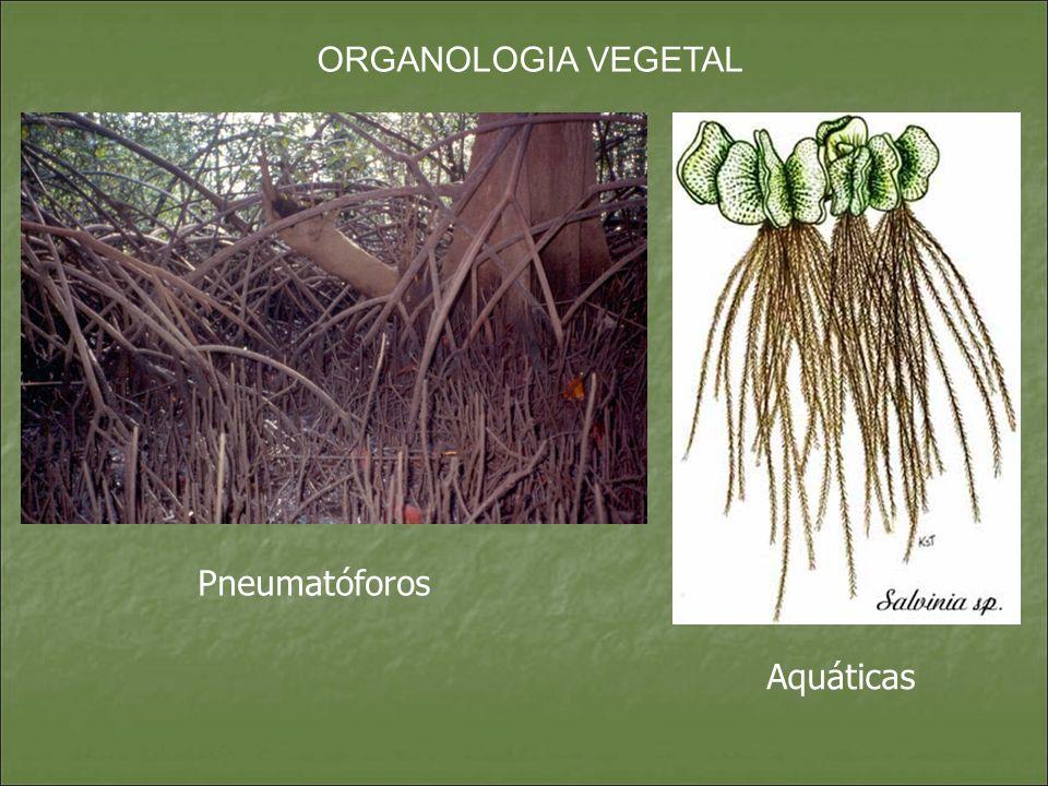 ORGANOLOGIA VEGETAL Aquáticas Pneumatóforos