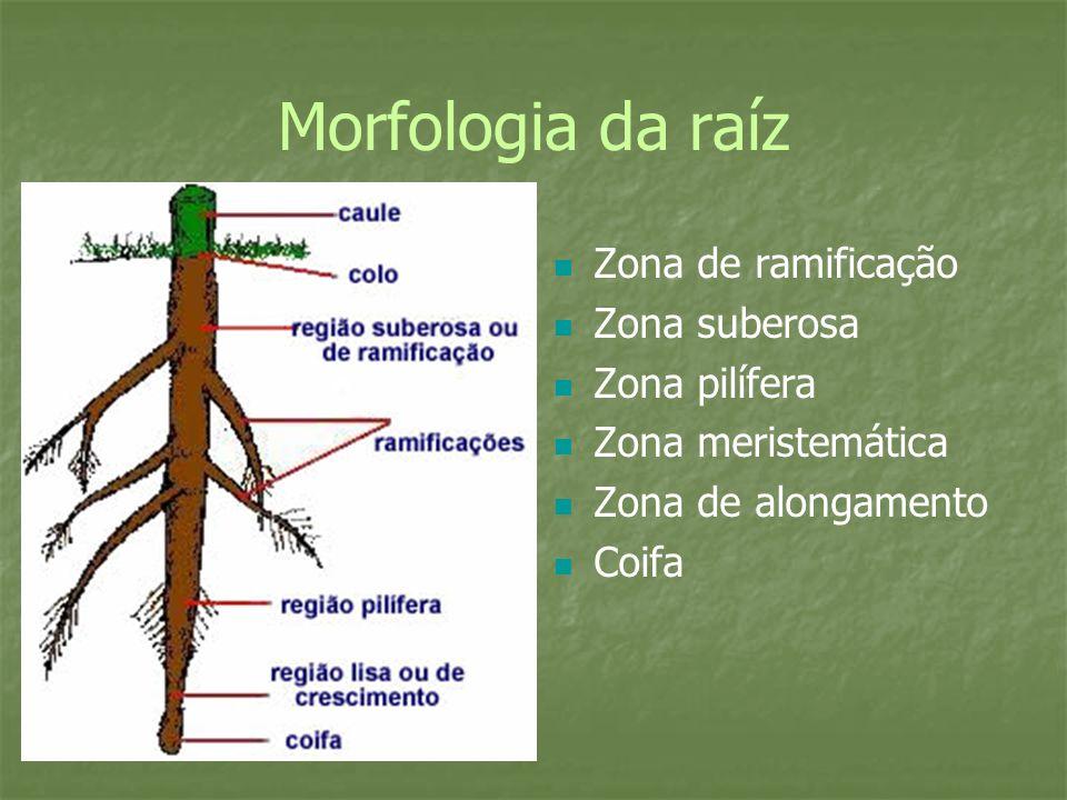Estrutura e função da raíz Conjunto : sistema radicular, que pode ser: Pivotante( ou axial) Fasciculada ( ou cabeleira) Da pivotante surgem raízes laterais ou secundárias Dentre as estruturas enquadram-se: Coifa Meristema radicular Zona lisa ou de distensão ou alongação Zona pilífera- pêlos absorventes Zona suberosa: - raízes secundárias.