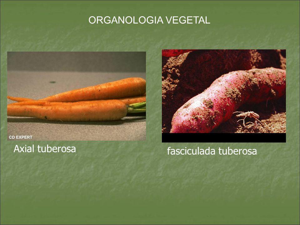 ORGANOLOGIA VEGETAL Axial tuberosa fasciculada tuberosa