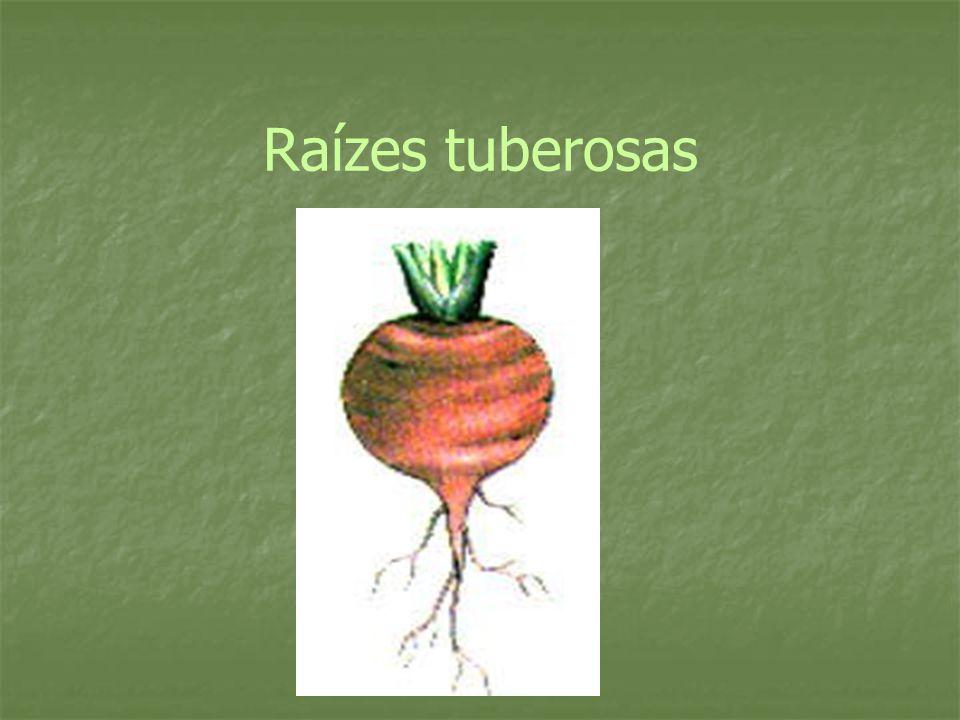 Raízes tuberosas