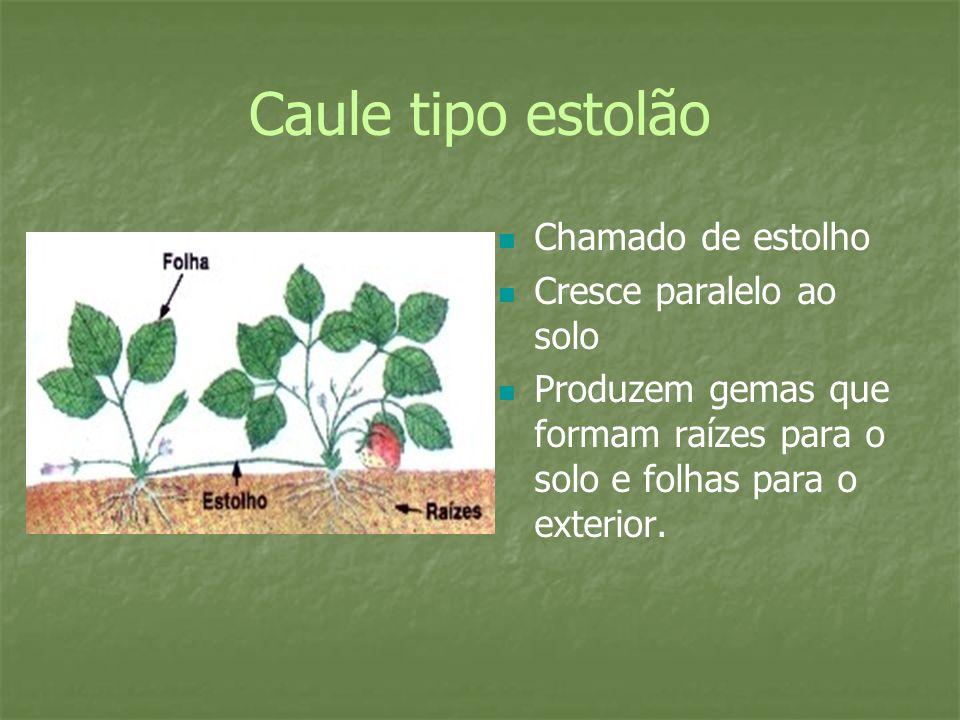 Caule tipo estolão Chamado de estolho Cresce paralelo ao solo Produzem gemas que formam raízes para o solo e folhas para o exterior.
