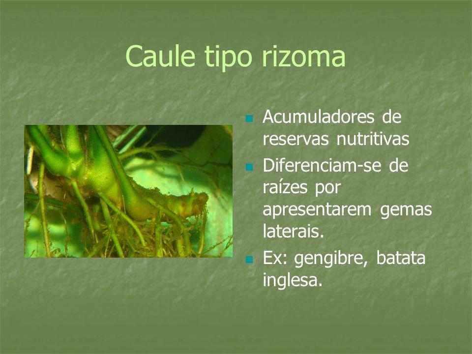 Caule tipo rizoma Acumuladores de reservas nutritivas Diferenciam-se de raízes por apresentarem gemas laterais. Ex: gengibre, batata inglesa.