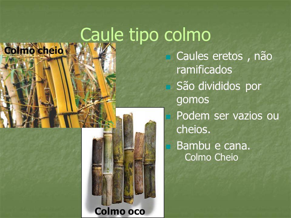 Caule tipo colmo Caules eretos, não ramificados São divididos por gomos Podem ser vazios ou cheios. Bambu e cana. Colmo Cheio Colmo oco Colmo cheio