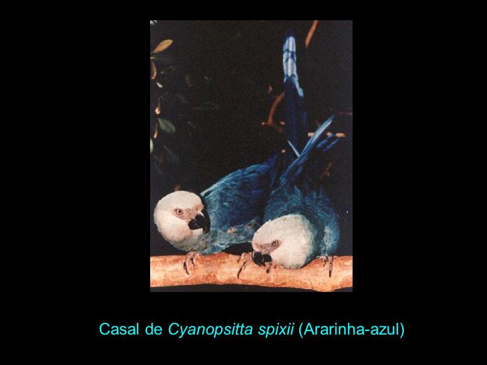 Ararinha-azul, Cyanopsitta spixii. Altura 57 cm. Bico negro franzino, porém provido de um grande dente na maxila. Bico e cara sem amarelo algum, no qu