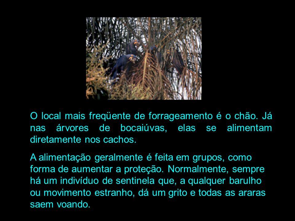Alimentação: As araras-azuis tem uma dieta baseada na amêndoa de acuri (Scheelea phalerata) e bocaiúva (Acrocomia aculeata). Na maior parte do ano, a