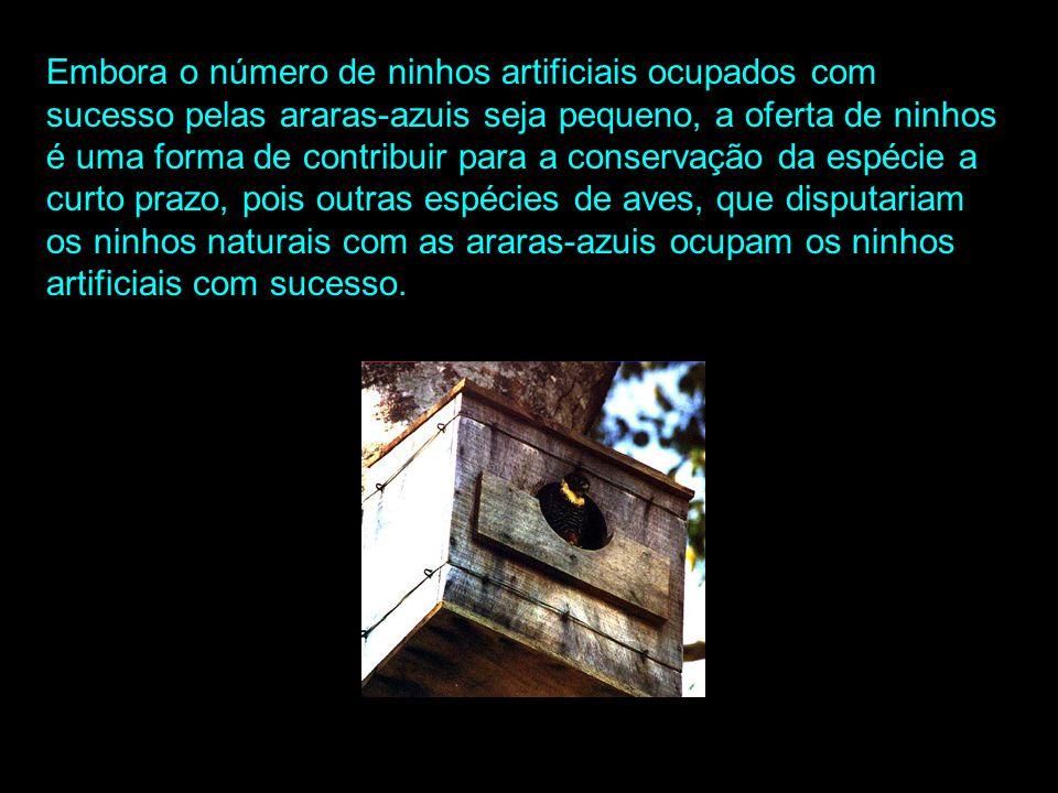 Ninhos Artificiais: No Pantanal existem cerca de 250 ninhos naturais marcados e 140 ninhos artificiais. Os ninhos são feitos em ximbúva (Enterolobium