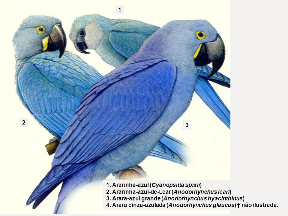 Família Psittacidae *Anodorhynchus glaucus (Vieillot, 1816) Nome popular: arara-azul-pequena. Anodorhynchus hyacinthinus (Latham, 1720) Nome popular: