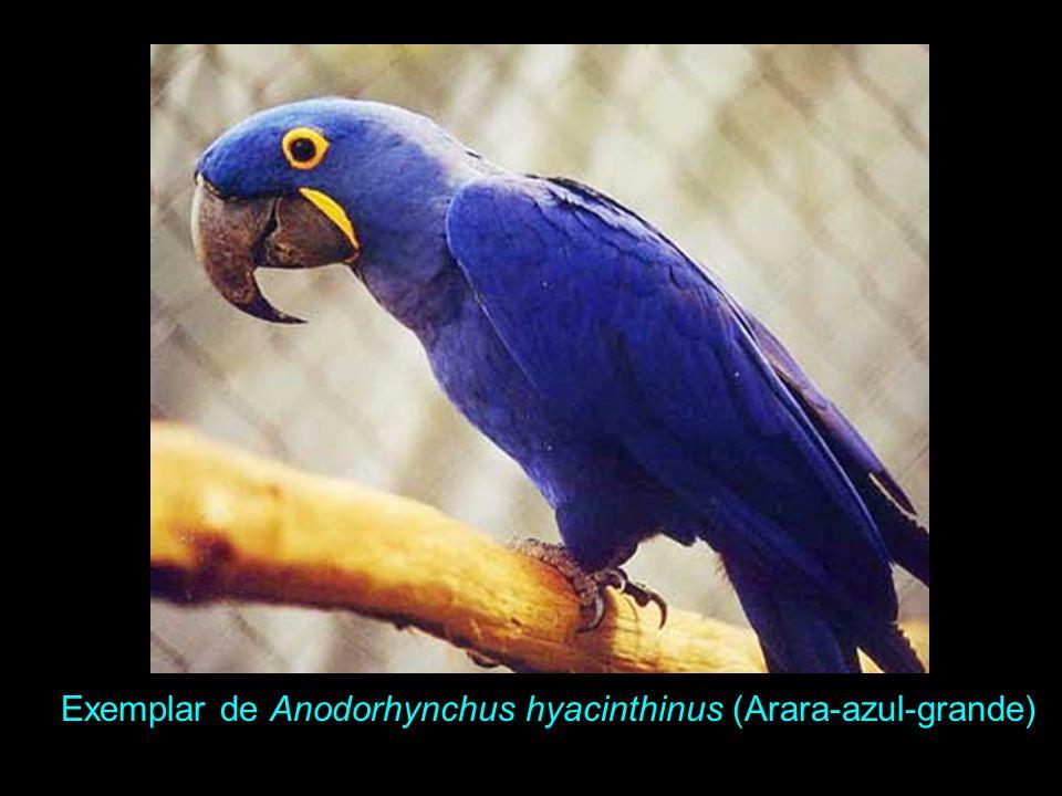 Arara-azul-grande, Anodorhynchus hyacinthinus Altura 93 cm, peso 1.500g. Bico grande, desprovido de dente na maxila. Plumagem totalmente azul-cobalto.