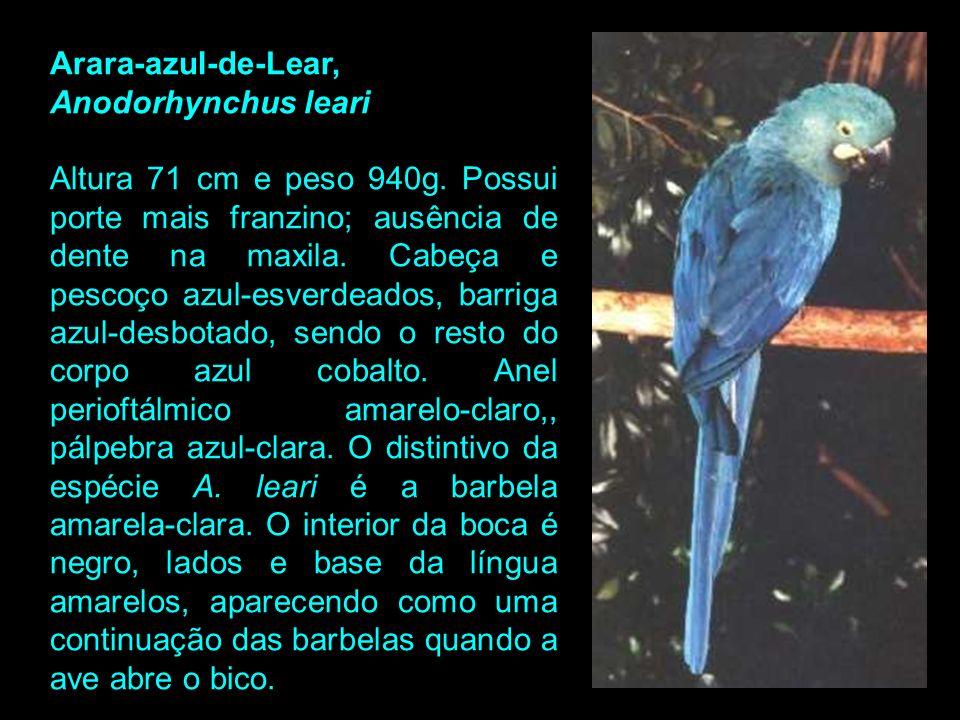 Exemplar de Anodorhynchus hyacinthinus (Arara-azul-grande)