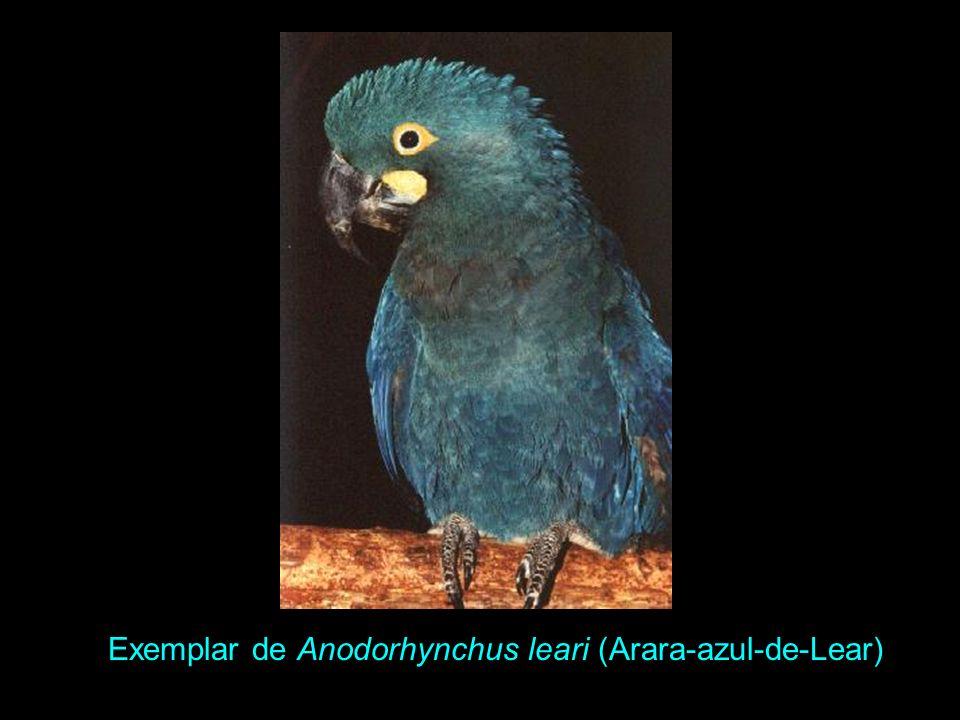 Arara-azul-de-Lear, Anodorhynchus leari Altura 71 cm e peso 940g. Possui porte mais franzino; ausência de dente na maxila. Cabeça e pescoço azul-esver