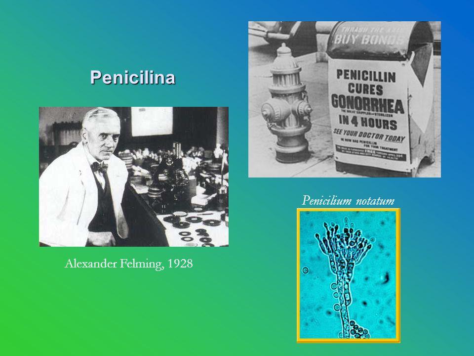 Penicilina Alexander Felming, 1928 Penicilium notatum