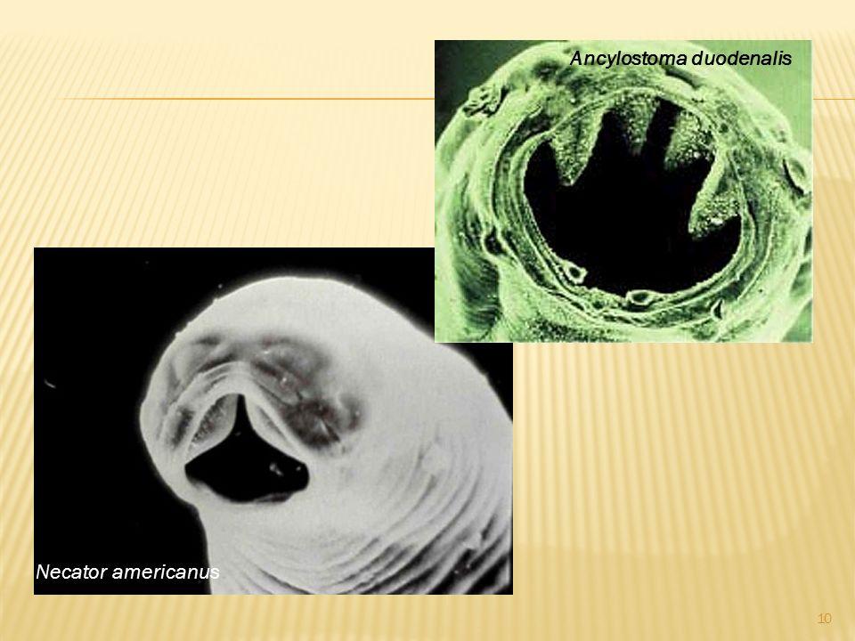 Necator americanus Ancylostoma duodenalis 10
