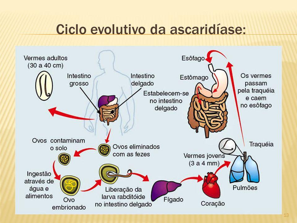Ciclo evolutivo da ascaridíase: 13