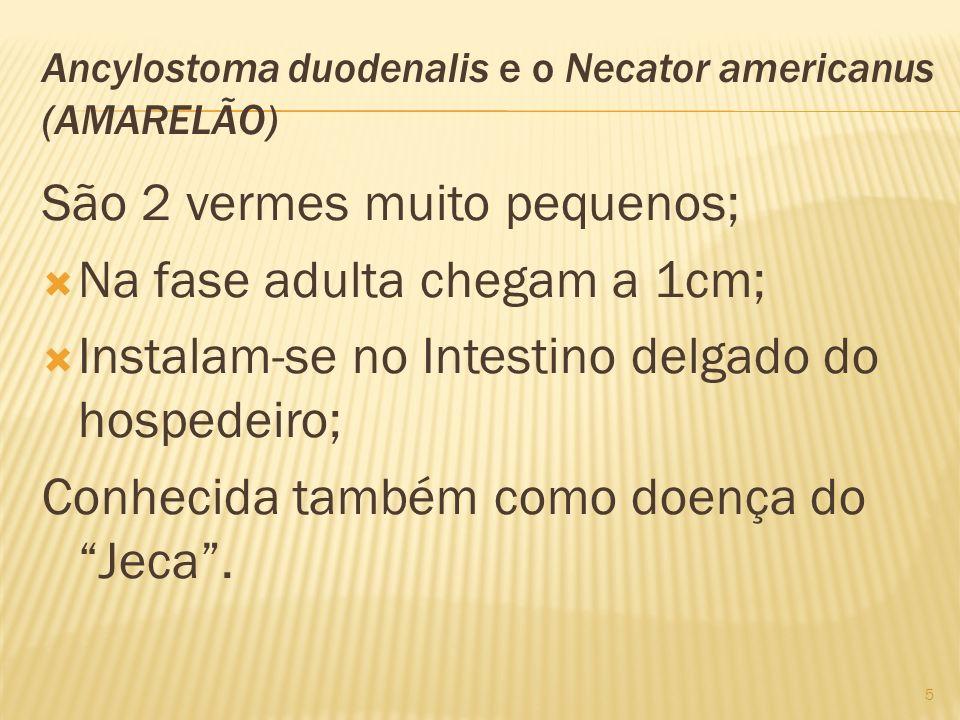 Ancylostoma duodenalis e o Necator americanus (AMARELÃO) São 2 vermes muito pequenos; Na fase adulta chegam a 1cm; Instalam-se no Intestino delgado do