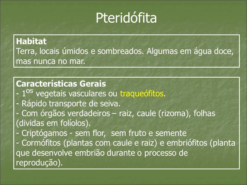 Pteridófita Habitat Terra, locais úmidos e sombreados. Algumas em água doce, mas nunca no mar. Características Gerais - 1 os vegetais vasculares ou tr