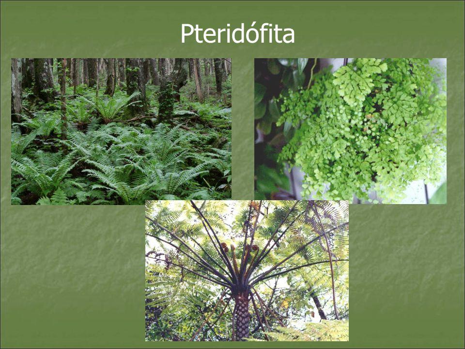 Esporófito Gametófito - prótalo