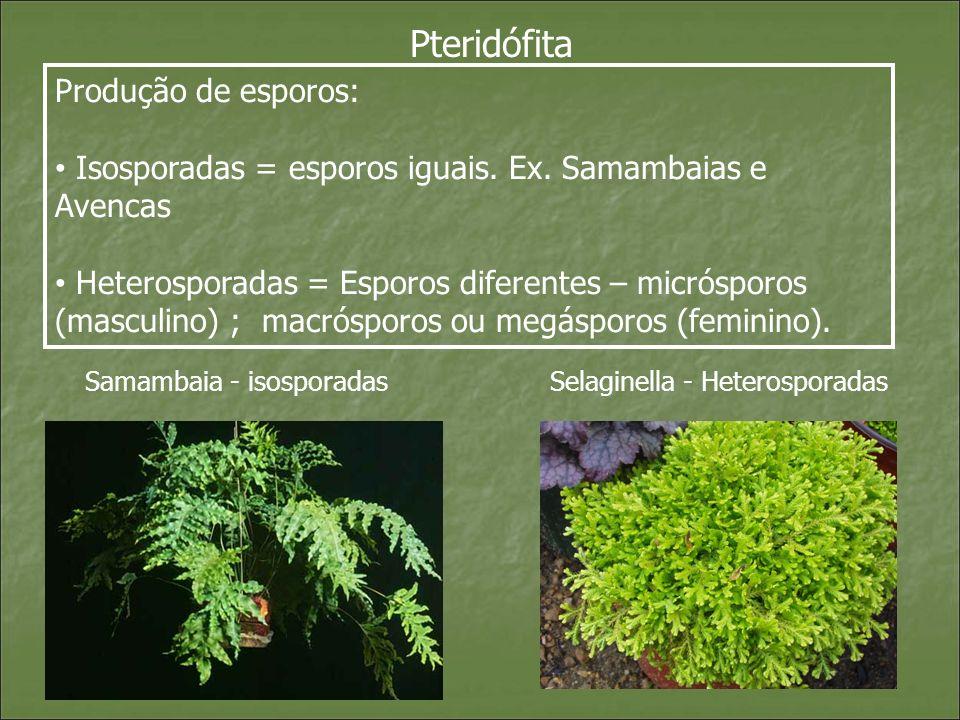 Pteridófita Produção de esporos: Isosporadas = esporos iguais. Ex. Samambaias e Avencas Heterosporadas = Esporos diferentes – micrósporos (masculino)