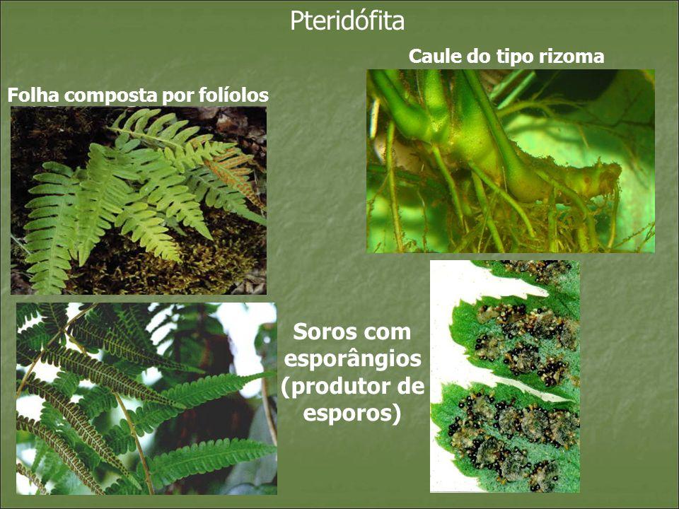 Pteridófita Classificação : Psilofitíneas – Psilotum Esquisetíneas – Esquisetum Filicíneas – Samambaias Licopodíneas - licopodium