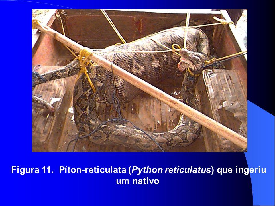 Figura 11. Píton-reticulata (Python reticulatus) que ingeriu um nativo