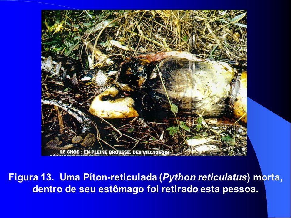 Figura 13. Uma Píton-reticulada (Python reticulatus) morta, dentro de seu estômago foi retirado esta pessoa.