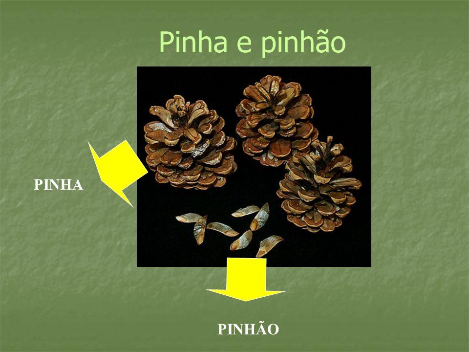 Pinha e pinhão PINHA PINHÃO