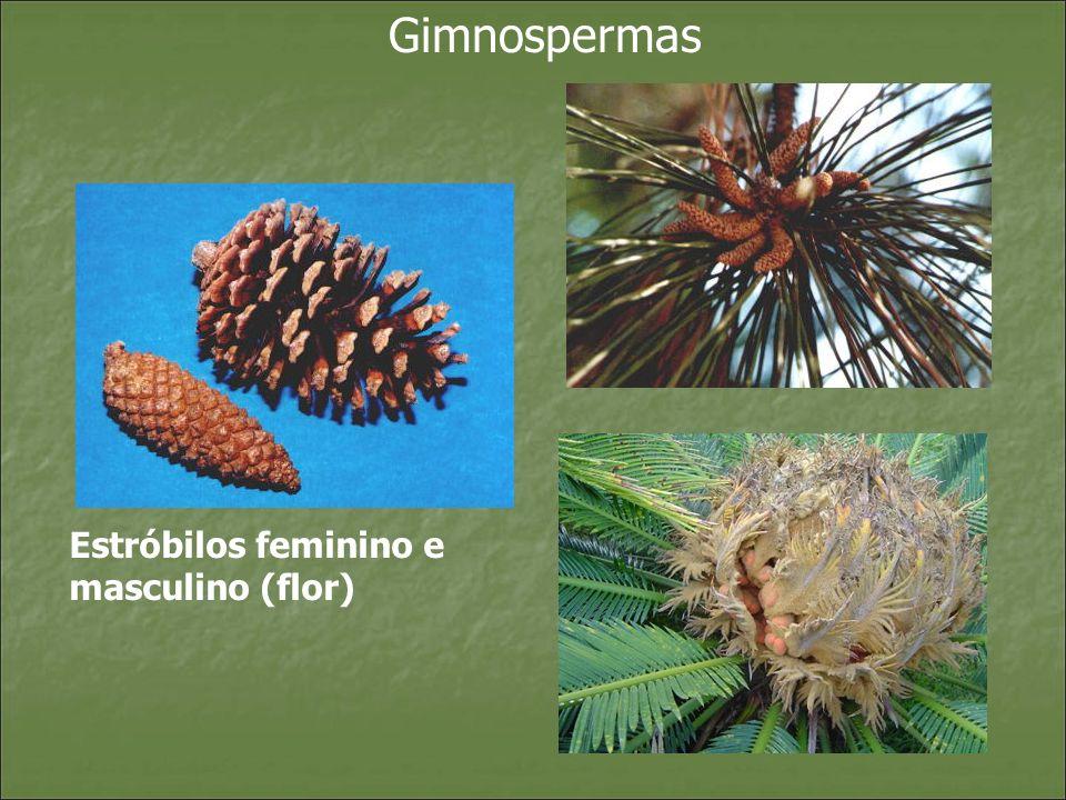 Estróbilos feminino e masculino (flor)