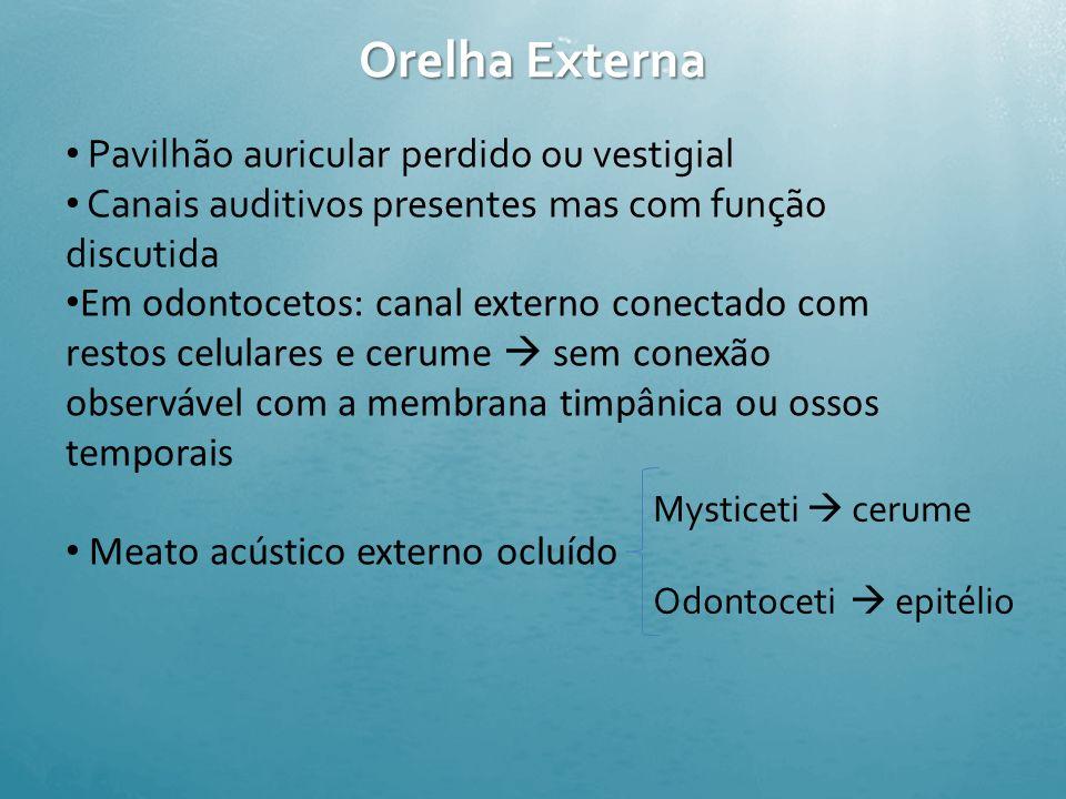 Exemplo: Pseudorca crassidens – falsa baleia assassina produz picos bimodais de frequência entre 70 kHz Sinais usados por golfinhos na ecolocação de o