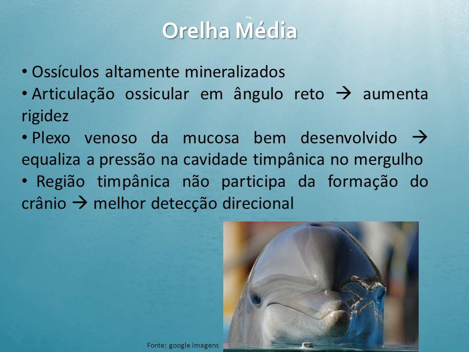 Orelha Externa Pavilhão auricular perdido ou vestigial Canais auditivos presentes mas com função discutida Em odontocetos: canal externo conectado com
