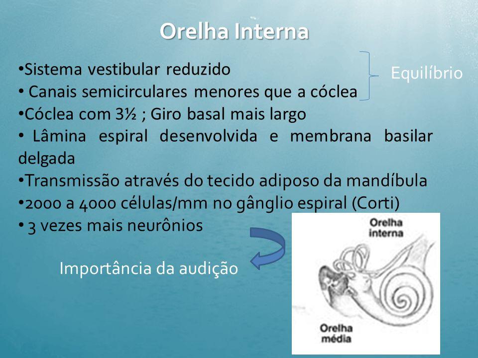Orelha Média Ossículos altamente mineralizados Articulação ossicular em ângulo reto aumenta rigidez Plexo venoso da mucosa bem desenvolvido equaliza a