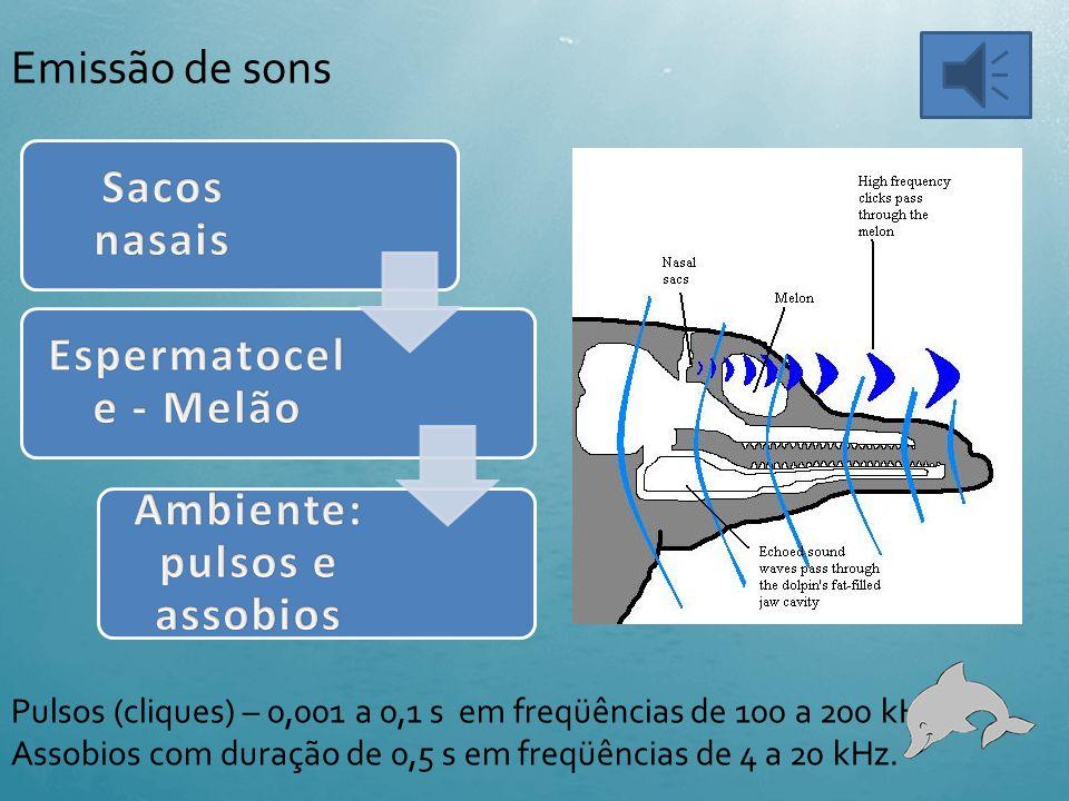 Órgãos envolvidos na Ecolocação