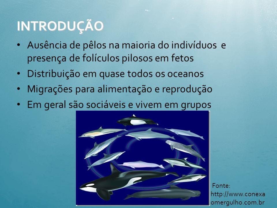 2. Características gerais Temperatura constante – 37°C Alimentação: peixes, crustáceos (camarões, Krill) e alguns vertebrados Órgãos reprodutores retr