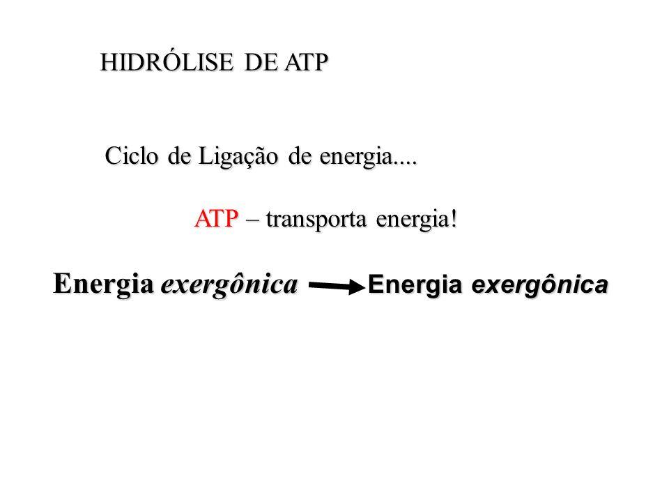 HIDRÓLISE DE ATP HIDRÓLISE DE ATP Ciclo de Ligação de energia.... Ciclo de Ligação de energia.... ATP – transporta energia! ATP – transporta energia!