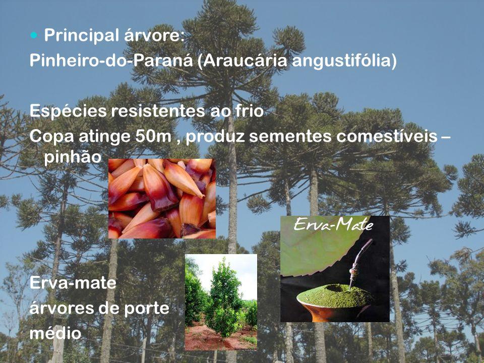 Principal árvore: Pinheiro-do-Paraná (Araucária angustifólia) Espécies resistentes ao frio Copa atinge 50m, produz sementes comestíveis – pinhão Erva-