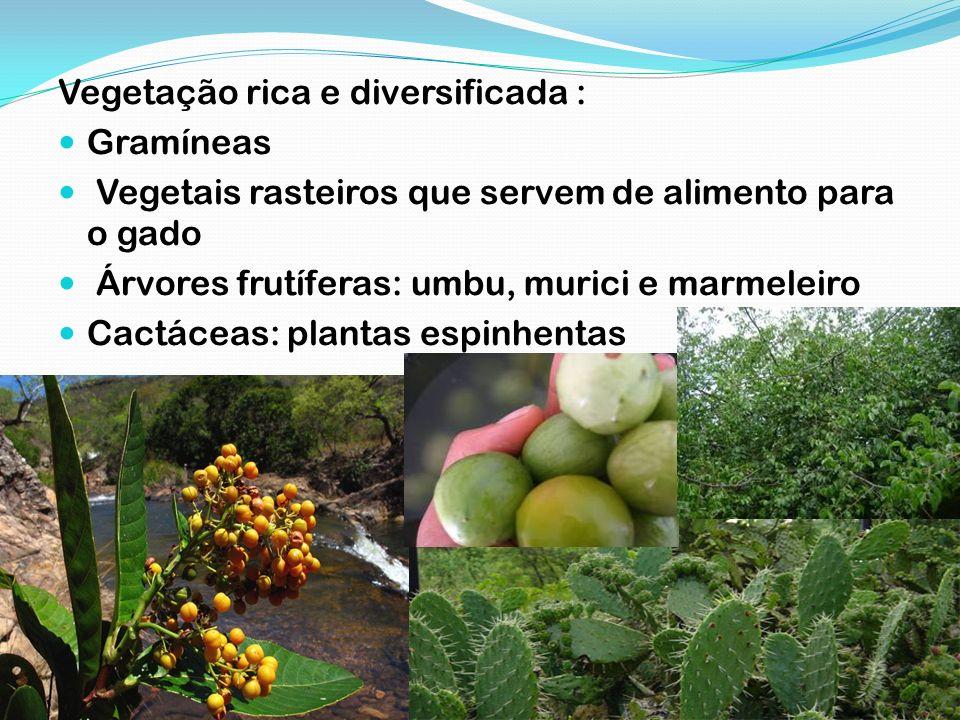 Vegetação rica e diversificada : Gramíneas Vegetais rasteiros que servem de alimento para o gado Árvores frutíferas: umbu, murici e marmeleiro Cactáce