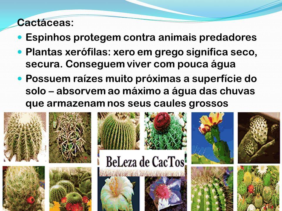 Cactáceas: Espinhos protegem contra animais predadores Plantas xerófilas: xero em grego significa seco, secura. Conseguem viver com pouca água Possuem