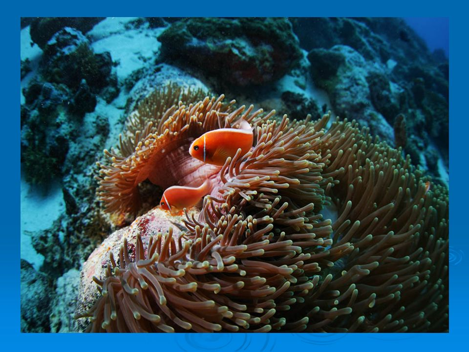 Pólipo de coral mole