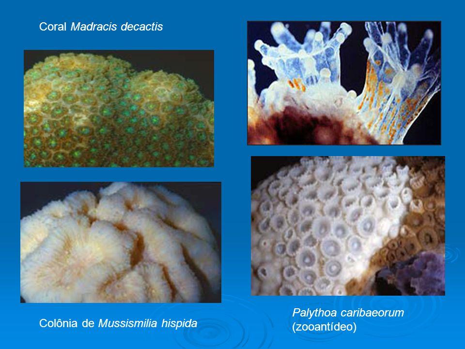 Colônia de Mussismilia hispida Palythoa caribaeorum (zooantídeo) Coral Madracis decactis