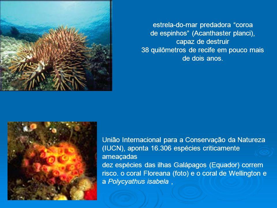 estrela-do-mar predadora coroa de espinhos (Acanthaster planci), capaz de destruir 38 quilômetros de recife em pouco mais de dois anos. União Internac