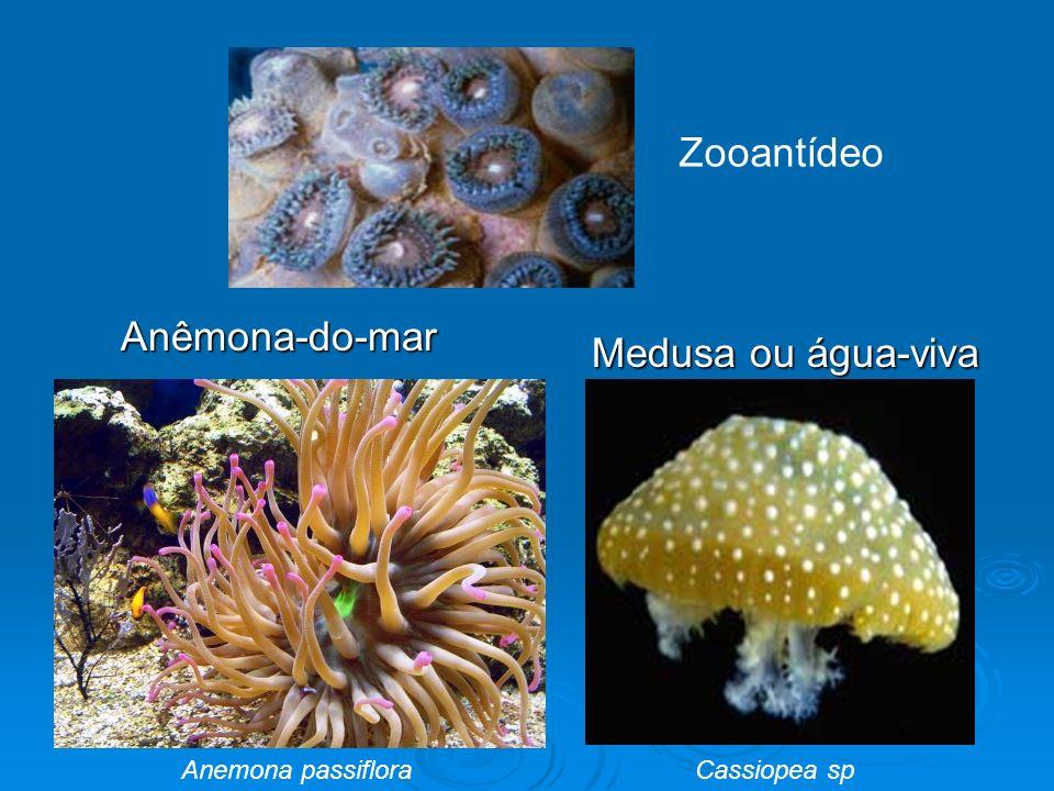 Anêmona-do-mar Anêmona-do-mar Medusa ou água-viva Medusa ou água-viva Zooantídeo Anemona passiflora Cassiopea sp