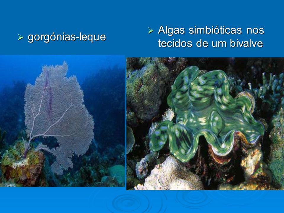 gorgónias-leque gorgónias-leque Algas simbióticas nos tecidos de um bivalve Algas simbióticas nos tecidos de um bivalve
