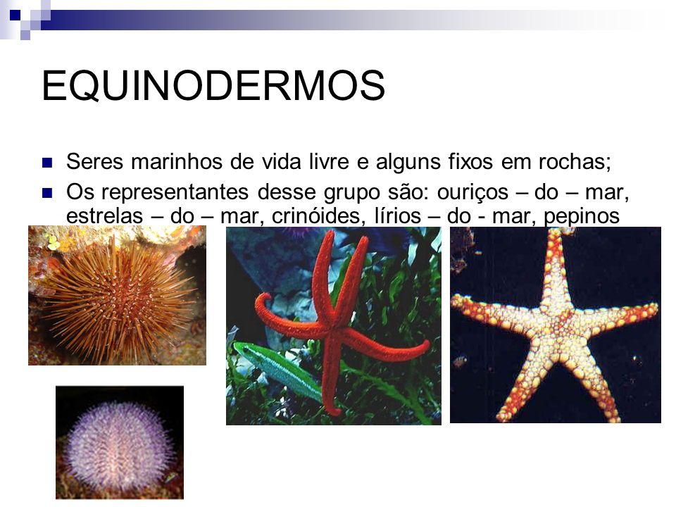 EQUINODERMOS Seres marinhos de vida livre e alguns fixos em rochas; Os representantes desse grupo são: ouriços – do – mar, estrelas – do – mar, crinói