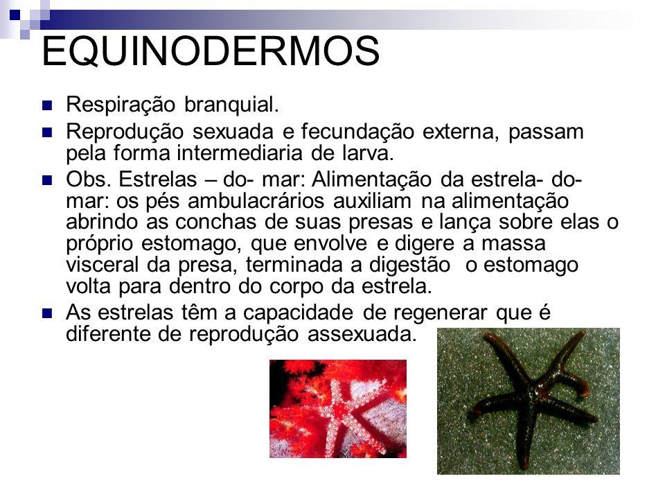 EQUINODERMOS Respiração branquial. Reprodução sexuada e fecundação externa, passam pela forma intermediaria de larva. Obs. Estrelas – do- mar: Aliment