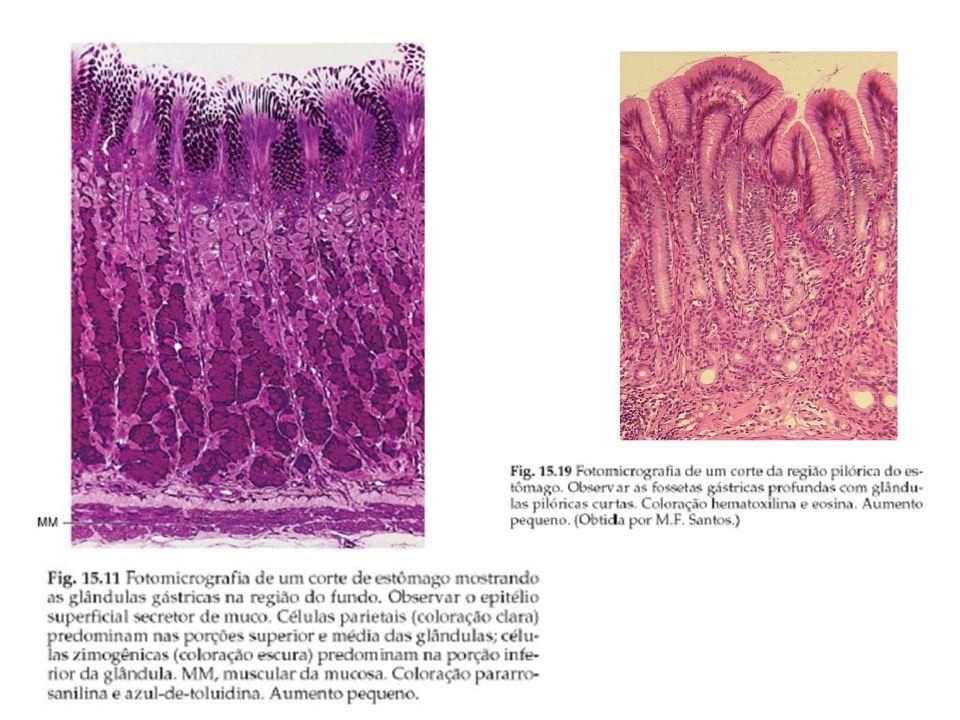 a)epitélio prismático simples e formação de criptas b)lâmina própria com as glândulas gástricas