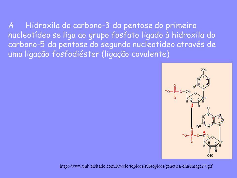 A Hidroxila do carbono-3 da pentose do primeiro nucleotídeo se liga ao grupo fosfato ligado à hidroxila do carbono-5 da pentose do segundo nucleotídeo através de uma ligação fosfodiéster (ligação covalente) http://www.universitario.com.br/celo/topicos/subtopicos/genetica/dna/Image27.gif