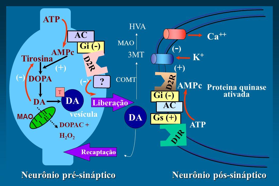 Tirosina (-)(-) Proteina quinase ativada Neurônio pós-sináptico Neurônio pré-sináptico ATP D2R AMPc ATP MAO DOPA Gi ( - ) D2R ? AMPc DA AC DA (-)(-) (