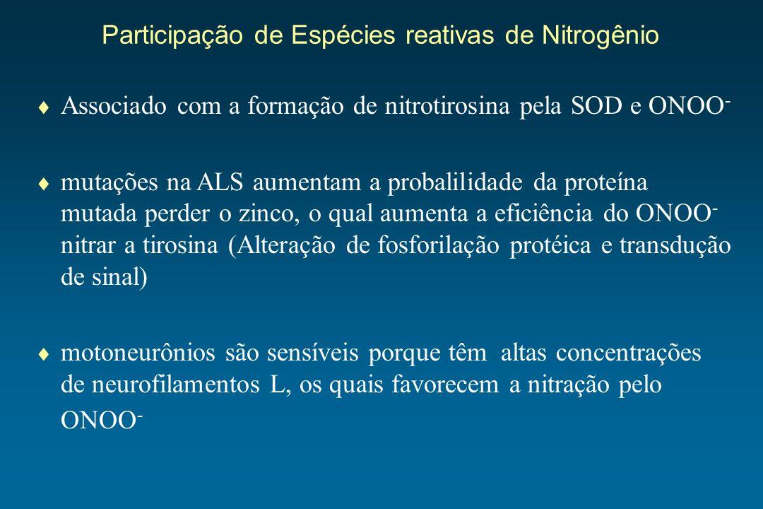 Associado com a formação de nitrotirosina pela SOD e ONOO - mutações na ALS aumentam a probalilidade da proteína mutada perder o zinco, o qual aumenta