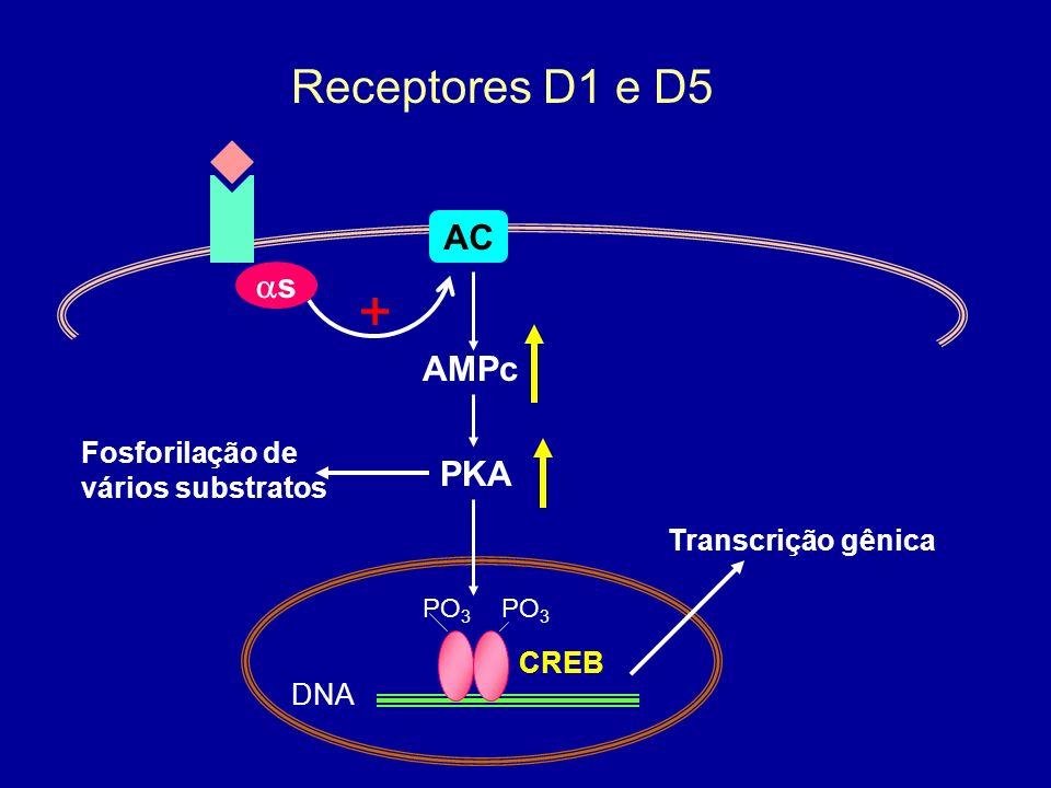AC s + AMPc Receptores D1 e D5 CREB DNA PO 3 PKA Transcrição gênica Fosforilação de vários substratos