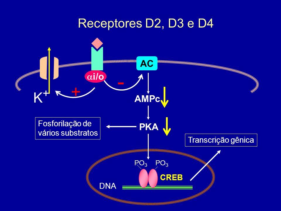 AC i/o - AMPc Receptores D2, D3 e D4 CREB DNA PO 3 PKA Transcrição gênica Fosforilação de vários substratos + K+K+